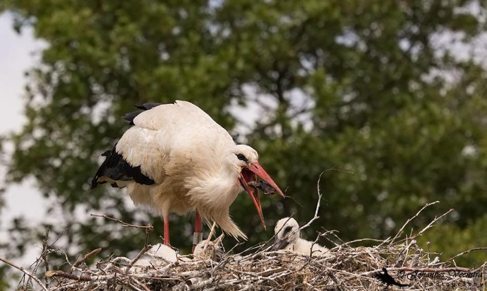 Ooievaar met prooi op nest met jongen